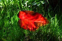 Bright red holly leaf in a juicy green grass 2. royalty free stock photos