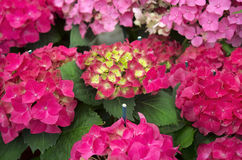 Bright red hydrangea Stock Image