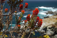 Bright red Indian paintbrush on California coast. Closeup of bright red Indian paintbrush with blue ocean in the background, Big Sur, California Stock Images