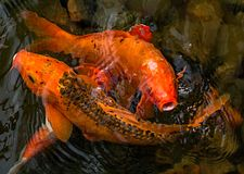 Bright red Koi fishes swim in an open pond, red, white and orange fish in open water. Fish Koi royalty free stock photos