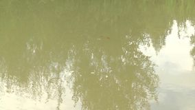 Bright red Koi fishes swim in an open pond, red, white and orange fish in open water. stock video footage