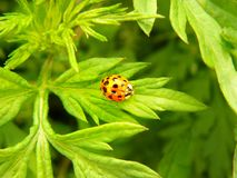 Bright red ladybug on a green leaf royalty free stock images