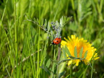 Bright red ladybug shepherding aphis on bird vetch (Vicia cracca) among green grass on the meadow Royalty Free Stock Photography