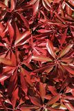 Bright red lanceolate leaves texture of decorative garden plant Stock Photo