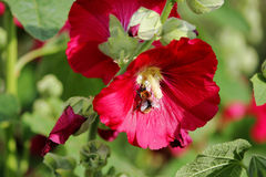 Bright red large flowers mallow with bumblebee in summer. Bright red large flowers mallow with bumblebee in summer Royalty Free Stock Images