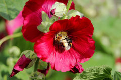 Bright red large flowers mallow with bumblebee in summer. Bright red large flowers mallow with bumblebee in summer Stock Images