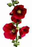 Bright red large flowers mallow in summer on a white background isolated. Bright red large flowers mallow in summer on a white background isolated Stock Photos