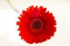 Bright red large gerbera - flower of spring. And love on a white background royalty free stock images