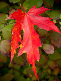 Bright Red Leaf Royalty Free Stock Photography