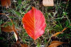 Bright Red Leaf Royalty Free Stock Photos