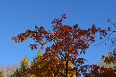 Bright red leaves and berries of rowan tree against blue sky in autumn.  stock images