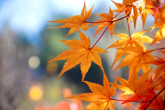 The bright red leaves. Stock Photo
