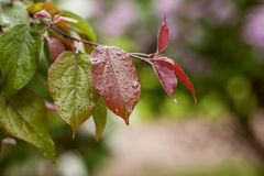 Bright red leaves after the rain. Яблоня Stock Photo