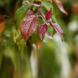 Bright red leaves after the rain. Яблоня Royalty Free Stock Photography