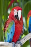 A bright red macaw parrot, Royalty Free Stock Image