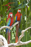 A bright red macaw parrot Royalty Free Stock Photo