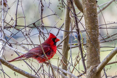 A Bright Red Male Cardinal Bird in a Tree. (Cardinalidae) in the Woods of Brazos Bend, Texas Stock Photo