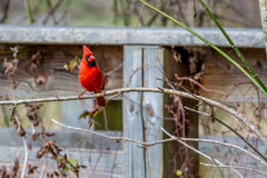A Bright Red Male Cardinal Bird in a Tree Royalty Free Stock Photo