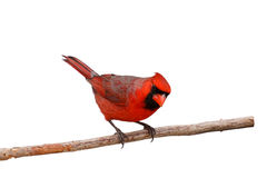Bright red male cardinal on a branch. Male cardinal perched on a branch peers sideways; white background royalty free stock image
