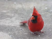 Bright Red Male Cardinal. This is a photograph of bright red male Cardinal on concrete, with snowflakes on his feathers Stock Image