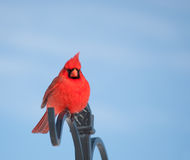 Bright red male Northern Cardinal against blue sky Royalty Free Stock Photography