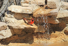Cardinal on Water Feature Royalty Free Stock Images