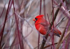 A male northern Cardinal sits on a branch in winter royalty free stock image