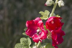 Free Bright Red Mallow Flower Malva With A Bumblebe Royalty Free Stock Images - 122832649