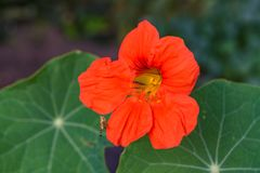 Red flowers mallow. Bright red mallow flowers with green leaves close up Royalty Free Stock Image