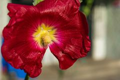 Red flowers mallow. Bright red mallow flowers with green leaves close up Royalty Free Stock Images