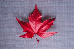 Bright red maple leaf on a gray background royalty free stock photos