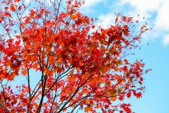 Bright red maple leaves on clear blue sky background landscape in autumn season, maple leaves turn from orange to red Stock Images