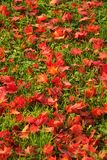 Bright red maple leaves lay newly fallen on green grass Stock Photography
