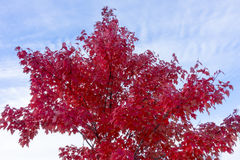 Bright red maple tree in autumn against a blue sky Stock Image