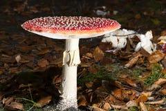 Bright red mushroom Royalty Free Stock Photos