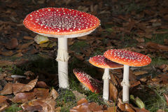 Bright red mushrooms Stock Images