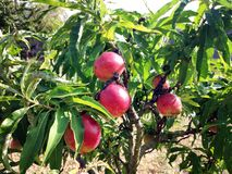 Bright red nectarines on the branch of a tree royalty free stock photo