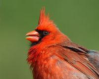 Bright red Northern Cardinal Stock Image