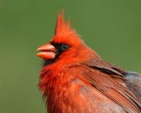 Bright red Northern Cardinal. Profile of a red Northern Cardinal bird, also called a Redbird. Species: Cardinalis cardinalis stock image