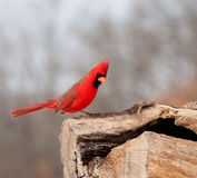 Bright red Northern Cardinal searching for food Stock Photography