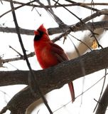 Bright red northern cardinal singing bird male colorful. Bright red northern cardinal singing bird during winter stock photography