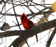 Bright red northern cardinal singing bird male colorful. Bright red northern cardinal singing bird during winter stock image