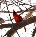 Bright red northern cardinal singing bird male colorful. Bright red northern cardinal singing bird during winter stock images