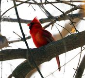 Bright red northern cardinal singing bird male colorful. Bright red northern cardinal singing bird during winter royalty free stock photography