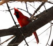 Bright red northern cardinal singing bird male colorful. Bright red northern cardinal singing bird during winter royalty free stock photo