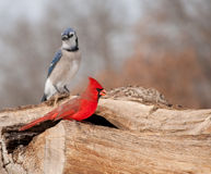 Bright red Northern Cardinal sitting on a log Royalty Free Stock Images