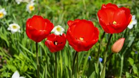 Bright red open tulip flowers. Red tulips flowering in summer garden on a sunny day stock video