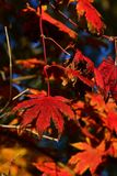 Bright red and orange autumn color of leaves of Korean maple tree, latin name Acer Pseudosieboldianum,. Natural sunshine royalty free stock photos
