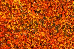 Bright red and orange autumn fall leaves background. Colorful an. D bright wall with autumn red and orange leaves royalty free stock photos