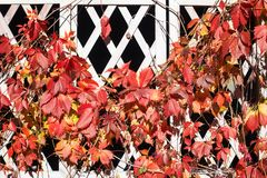 Bright red and orange grape leaves on white wooden lattice grid fence, autumn golden climber plant foliage, fall sunny day. Nature image, Parthenocissus or royalty free stock photography